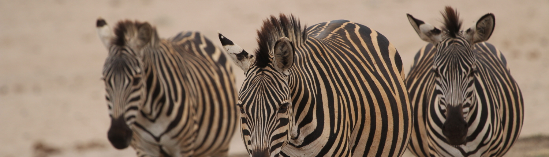 three zebra walking towards the camera (Serengeti)