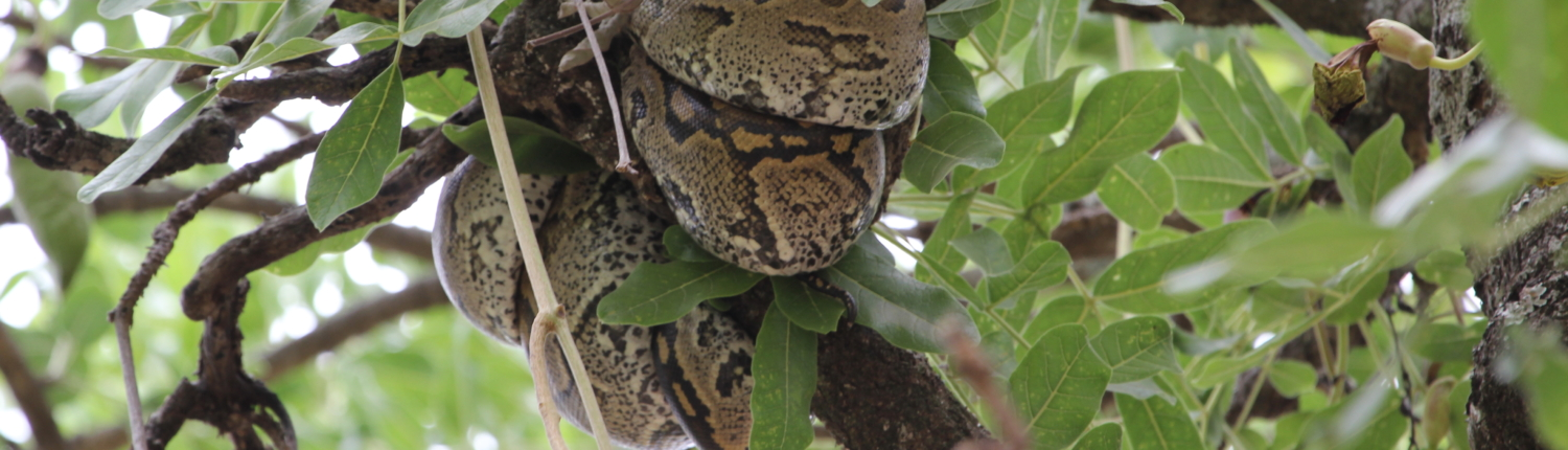 an African rock python curled around a branch