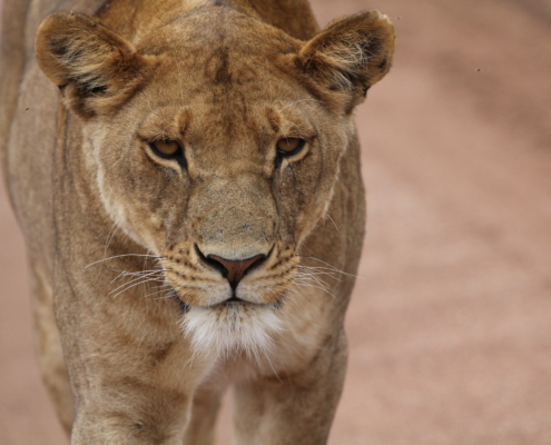 a close up view of a lioness walking in the Serengeti