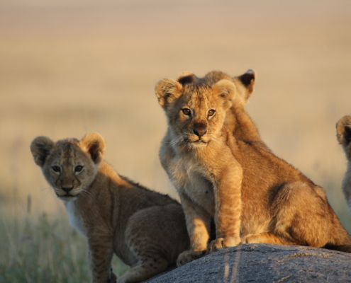 four lion cubs; 3 looking right at the camera in the golden light in the Serengeti