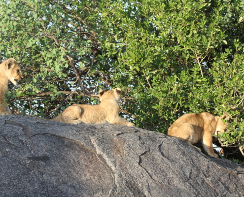 Three lion cubs relaxing in different positions on a kopje in the Serengeti