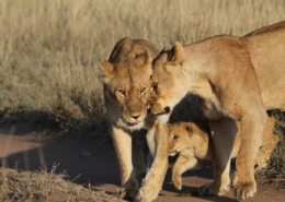 A lioness gently head-butting another with a cub between them (Serengeti)