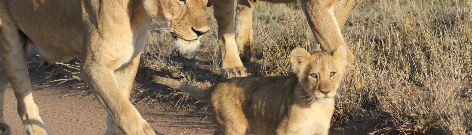 two adult lionesses and a cub walking along a trail in the Serengeti