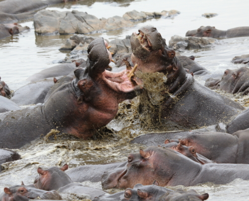 two hippos bat5tling in the midst of a large group of hippos in the water (Serengeti - Retina hippo pool)