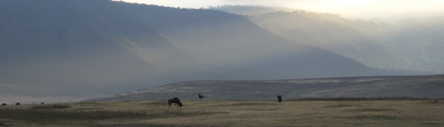 Wildebeest in the Ngorongoro Crater with mist