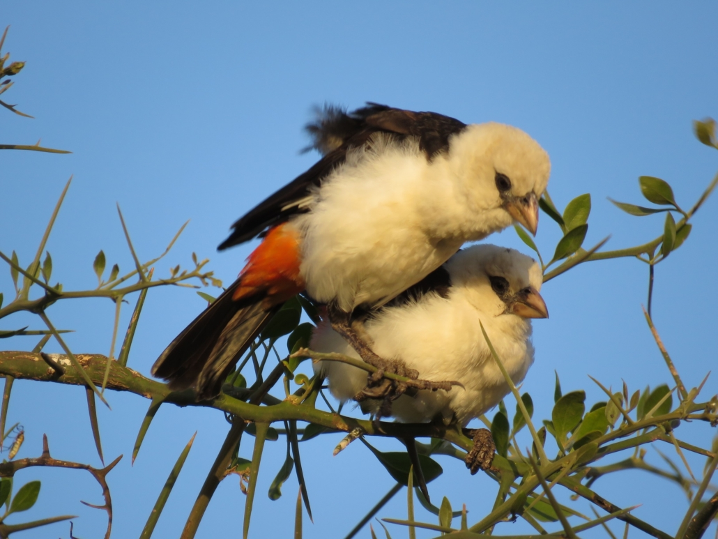 two buffalo weavers on a branch that look like they are cuddled up together