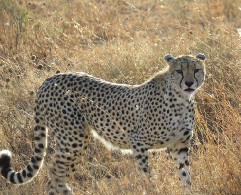 a cheetah lit up by the sun looking at us