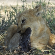 a young lion cub chewing a piece of bone/meat that is almost too big for him
