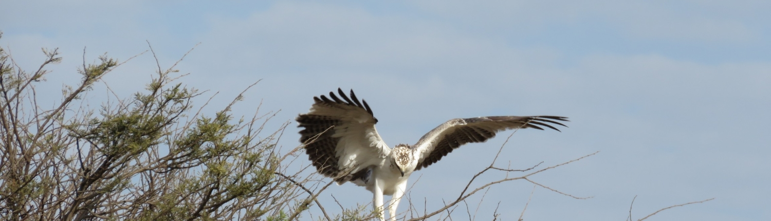 martial eagle landing on a bush with wings outspread