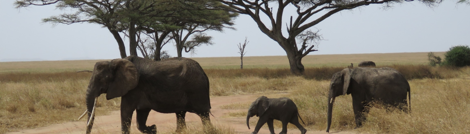 Three elephants (one baby in the middle) crossinga track in the Serengeti - acacia trees behind