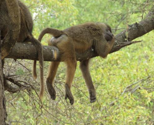 Baboon sleeping on branch (Lake Manyara)