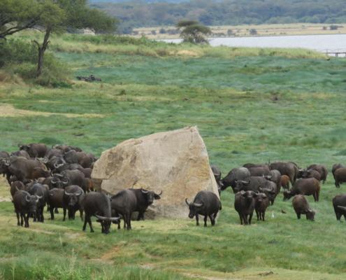 Cape Buffalo gathered around big rock (Lake Manyara)