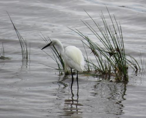 En egret walking through the water and reeds at Lake Manyara