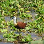 Jacana stepping delicately across water (Lake Manyara)