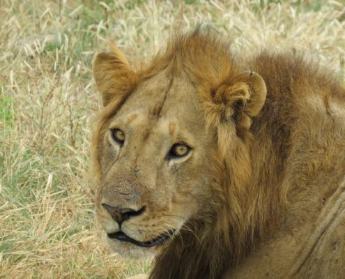 Lion (Lake Manyara)