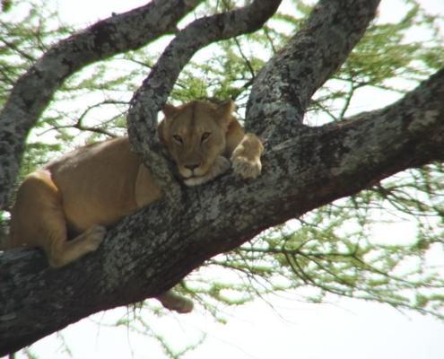 Lake Manyara Tree Climbing Lion resting on a tree branch