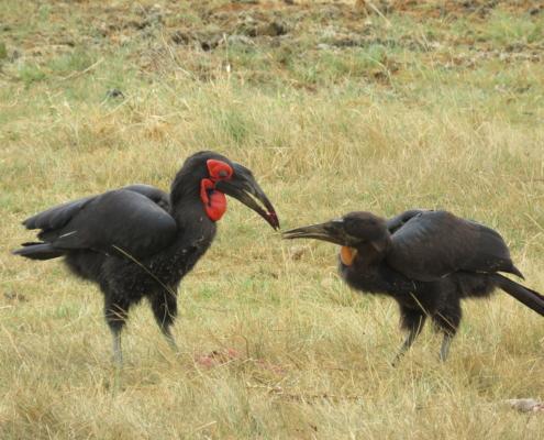 Two Southern Ground Hornbills sharing good (Lake Manyara)
