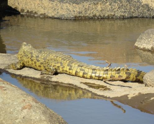 a crocodile sunbathing with his reflection below him in the Mara river (Northern Serengeti)