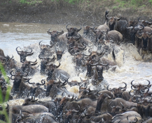 Wildebeest spraying water everywhere as they cross the Mara river (Northern Serengeti)