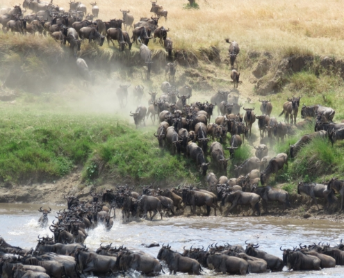 crowds of wildebeest dashing through dust down to the Mara river and then crossing (Northern Serengeti)
