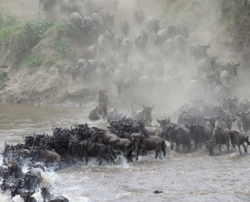 a large crowd of wildebeest jumping down the banks of the Mara river and crossing (Northern Serengeti)