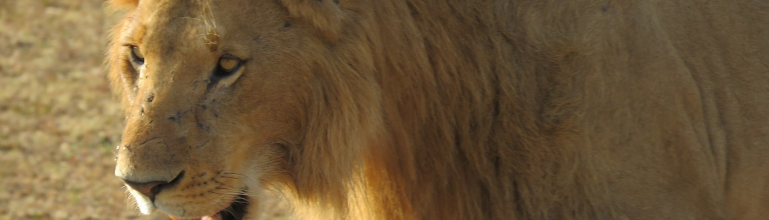 close up of a lion in the Mara area of the Serengeti