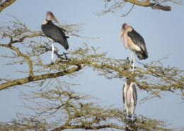 Three marabou storks perched in a tree against the blue sky