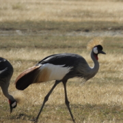 Two Crested Cranes in the Ngorongoro Crater