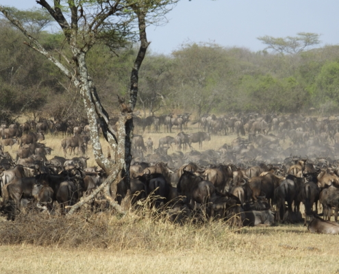 Large herd of wildebeest in the dust they kicked up in the Serengeti