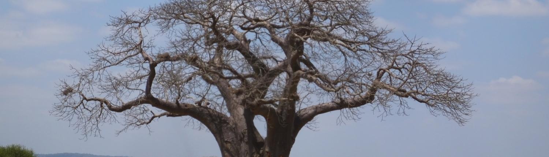 Baobab Tree and Vulture (Tarangire)