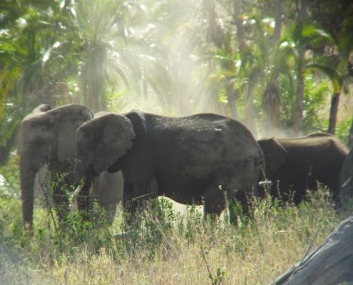 Elephants enjoying a dust bath (Tarangire)