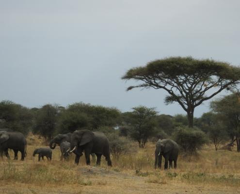 Elephant family with Acacia (Tarangire)