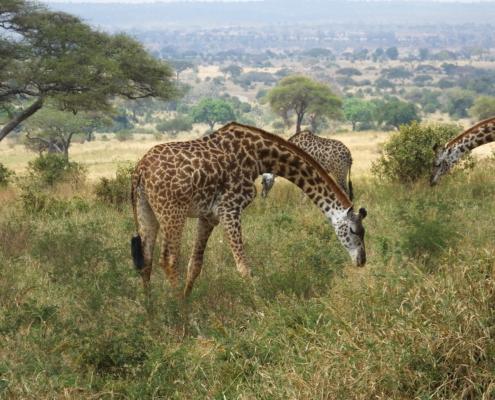 Giraffes bent over Feeding on the grass (Tarangire)