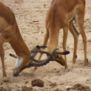 two impala locking horns in Tarangire National Park