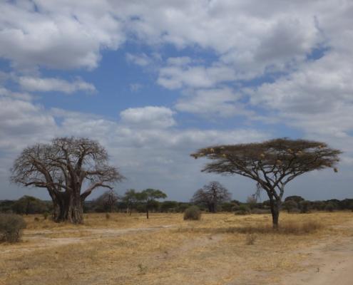 Baobab and Acacia tree with weaver nests - Tarangire vista