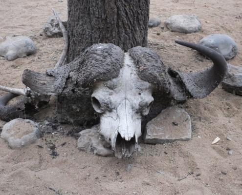 Cape Buffalo Skull (Tarangire)
