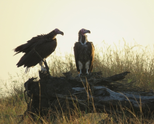 Two vultures perched on a log as the sun sets (Mara)