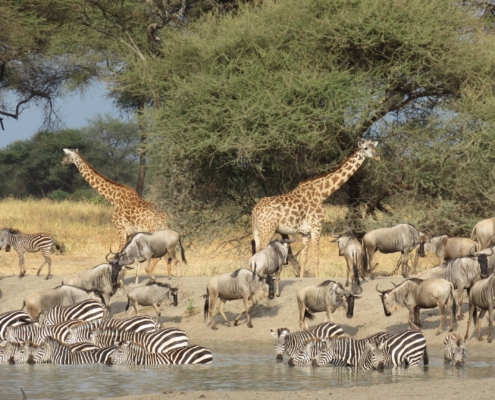 Giraffe, wildebeest and zebra all gathered together at a watering hole