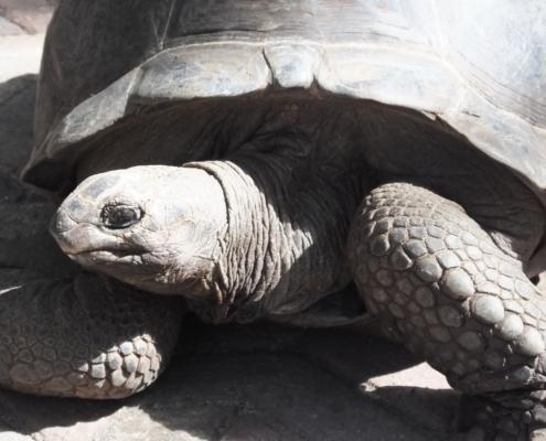 Giant Aldabra Tortoise on Changuu Island (Zanzibar)