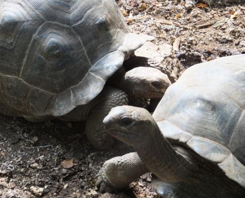Two Giant Aldabra Tortoises on Changuu Island in Zanzibar