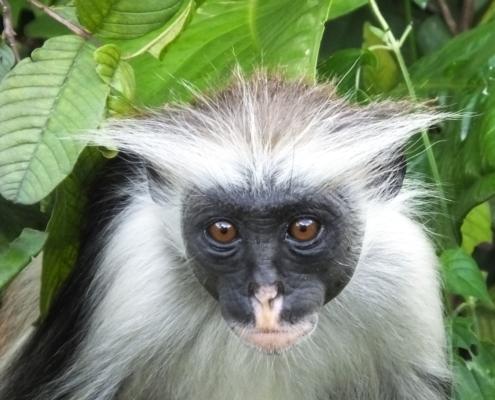 red colobus monkey on Zanzibar