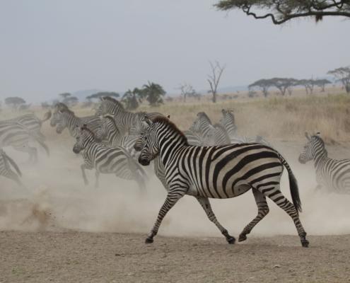 zebra running in a cloud of dust near the Grumeti River in the Western Serengeti