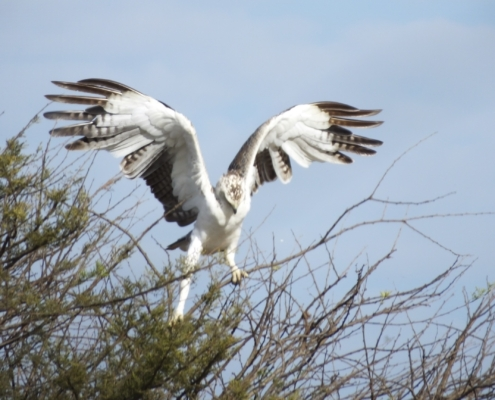a martial eagle landing (wings up) on scrub