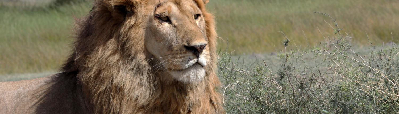 Beautiful lion with large mane