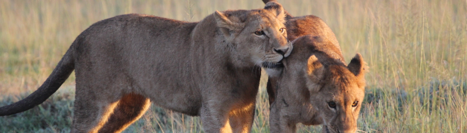 One lioness licking another in the Serengeti in the golden hours