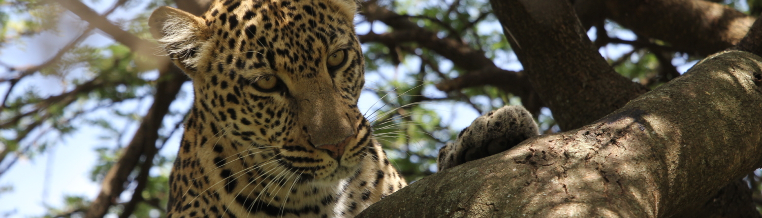 leopard dappled by the sun in a tree branch