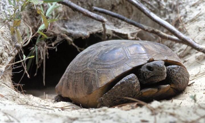 Tortoise Gopher