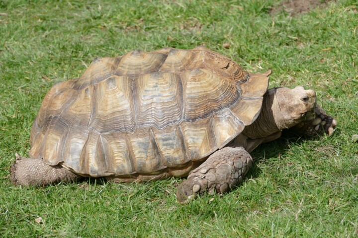 African spurred tortoise citrus county