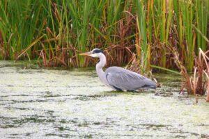 Wetland survey heron