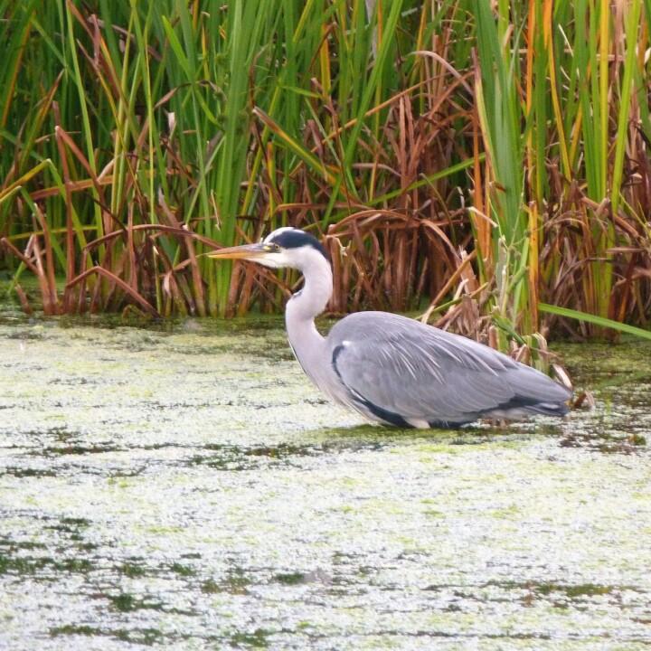 Environmental Consulting Wetland survey heron